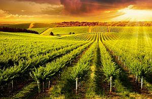 Australien verzaubert. Weinreben so weit das Auge reicht. Eine Incentive Weinreise der Extraklasse.