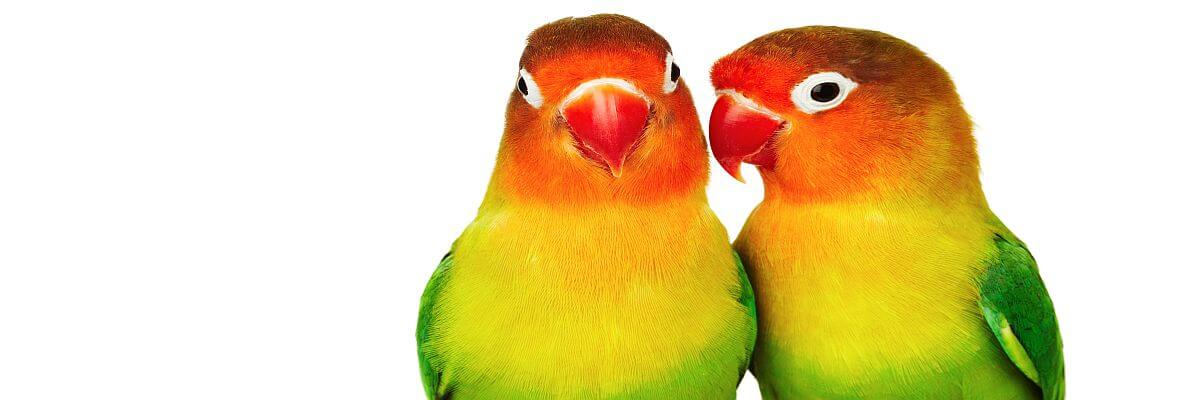 Zwei Papageien. Dolmetscher von all about event. Wir flüstern Ihnen was.